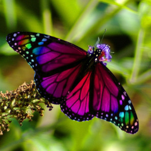 Rainbow-Butterfly-butterflies-9284251-500-500