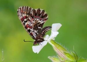07 Papilionidi
