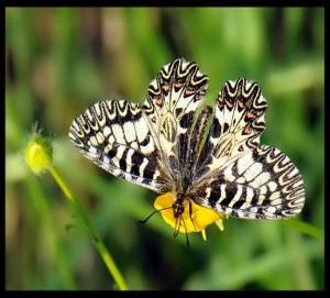 08 Papilionidi