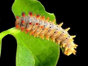 09 Papilionidi