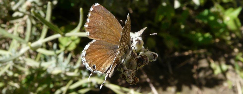 Slider Cacyreus-Marshalli-via-Luserna
